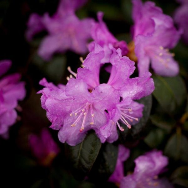 Light purple Rhodo Olga flower.