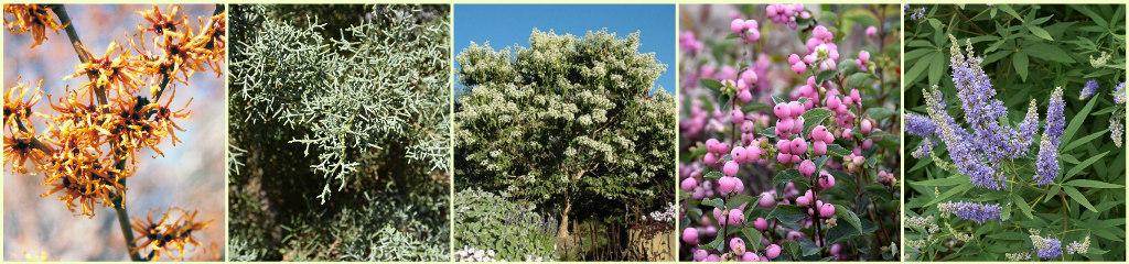 Witch Hazel, Blue Ice Cypress, Seven Son Flower, Snowberry, Vitex